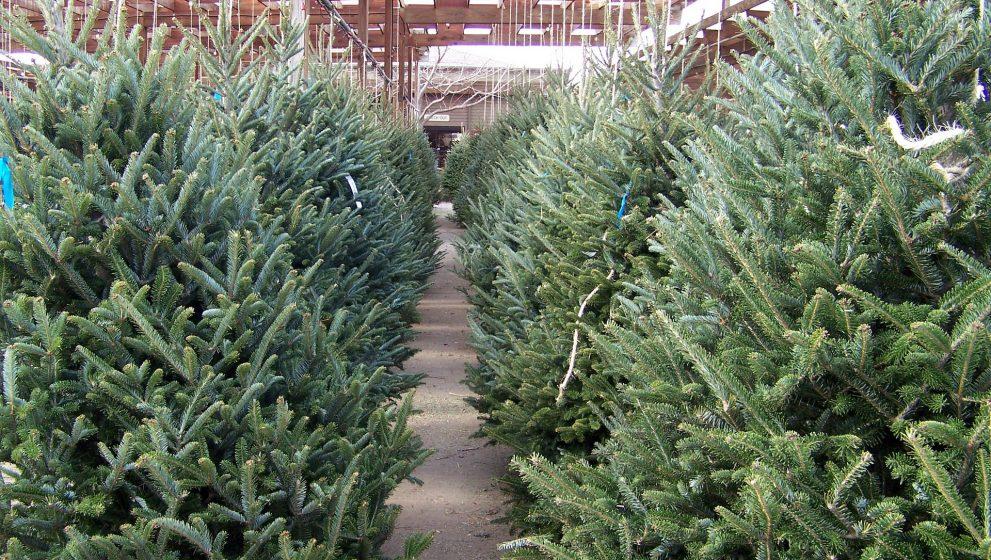 El uso de árboles de navidad naturales y como benefician al ambiente