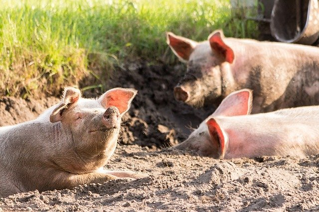 La caudofagia: un trastorno que afecta a los porcinos